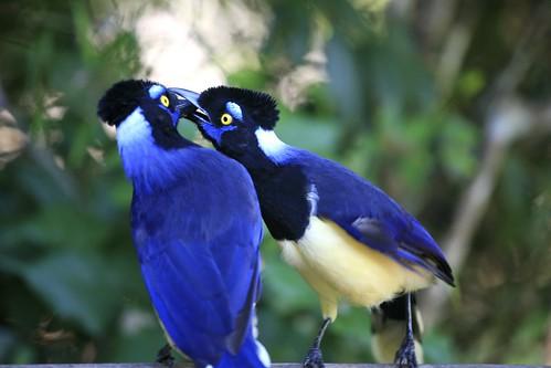 Kissing Plush-crested Jays | by Alex E. Proimos