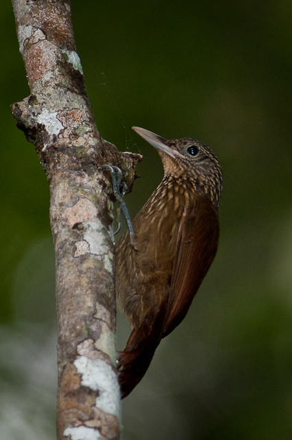 Striped Woodcreeper