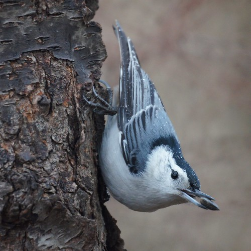 White-breasted Nuthatch | by Mike's Birds