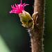 Flickr photo 'California Pink Tentacleplant' by: Ken-ichi.