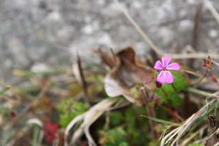 Herb-Robert (Geranium robertianum) | by IllinoisDana