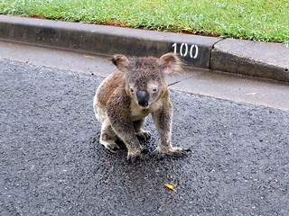 Wild koala walking up Hamlyn Drive | by koalawrangler