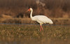 Siberian Crane-2010-12-8-jiujiang,jiangxi,China,300,2.8.photo by Laolin by laolin&xiekai