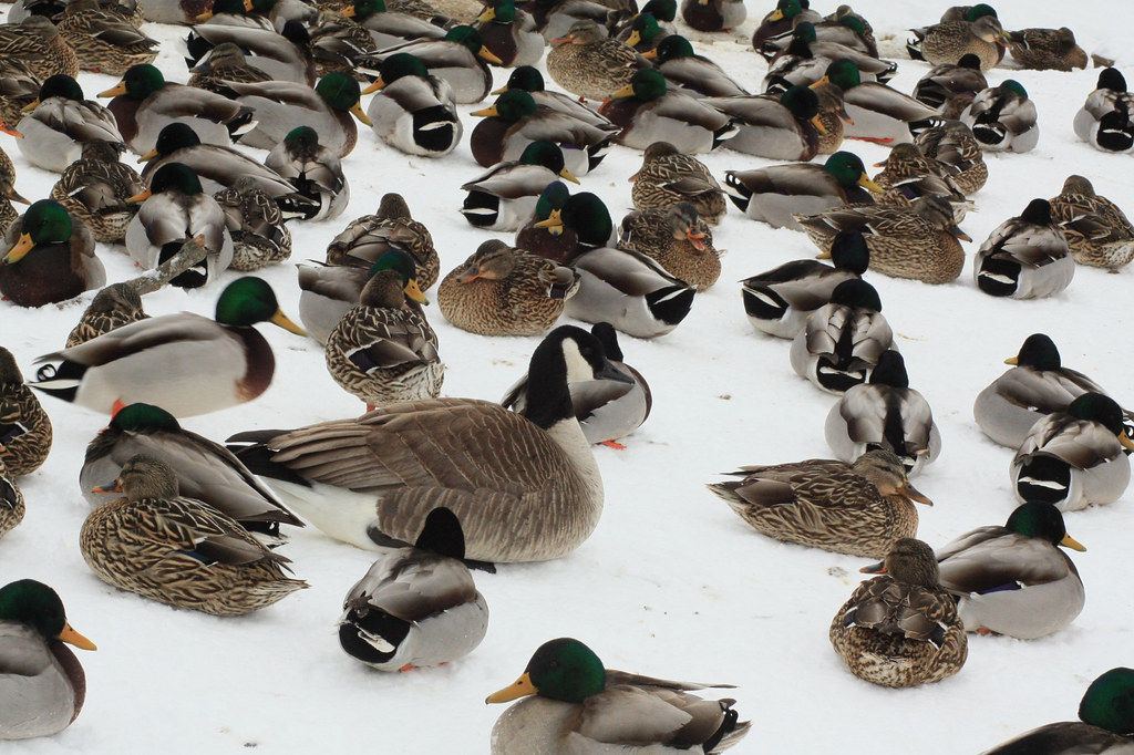 A lone Canadian Goose sits among a flock of ducks sitting in the snow.