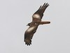 Birds of India: White-eyed Buzzard by spiderhunters