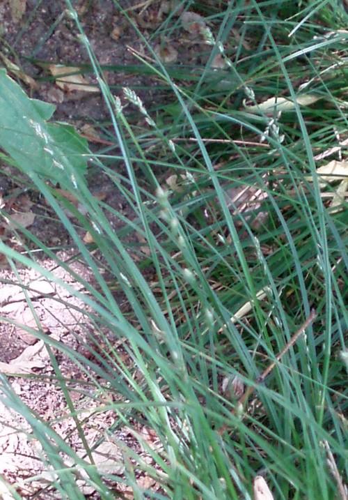 Carex divulsa 5513632775_9cd3c0dcbd_o