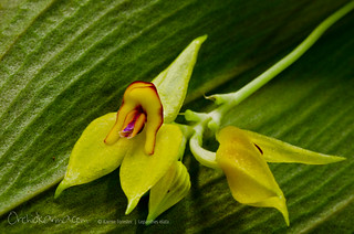 Lepanthes elata | by orchidkarma