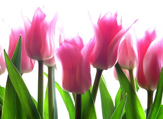 tulips | by Muffet