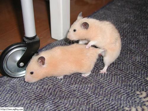 Hamster Porn | . todos somos asi xD | Mugen Sama | Flickr
