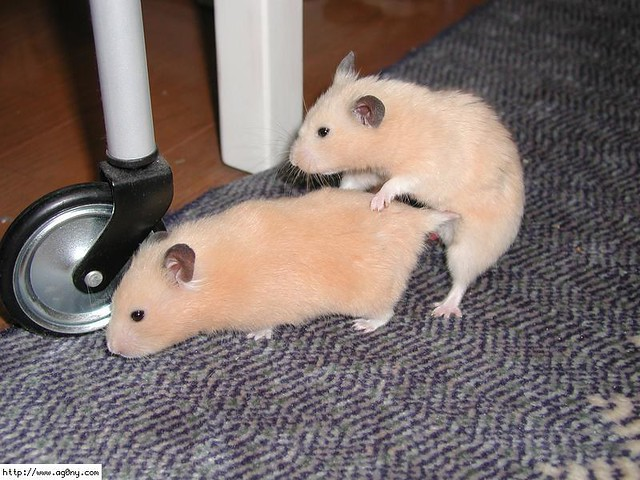 Hamster de porn