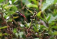Dragonfly | by Dust Mason