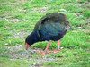 Takahe on Kapiti Island - these were thought to be extinct for about 50yrs! by Matt and Sarah F