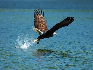 Bald Eagle gets his Prey   by Nikographer [Jon]