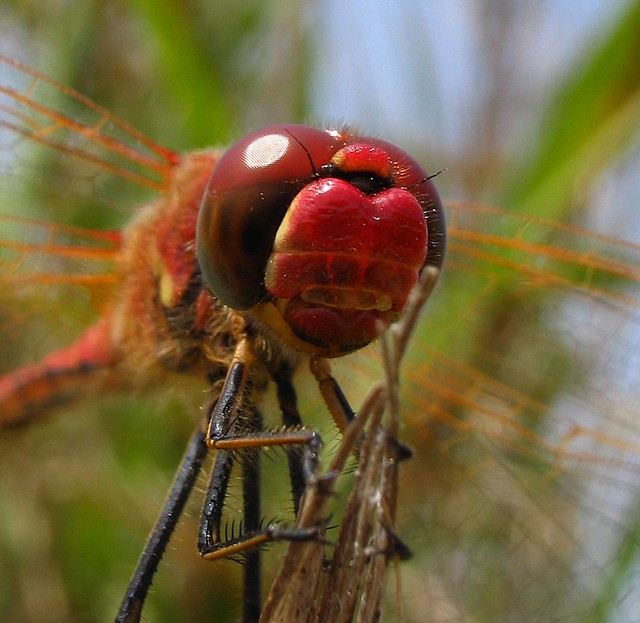 Red-veined darter- sympetrum fonscolombii