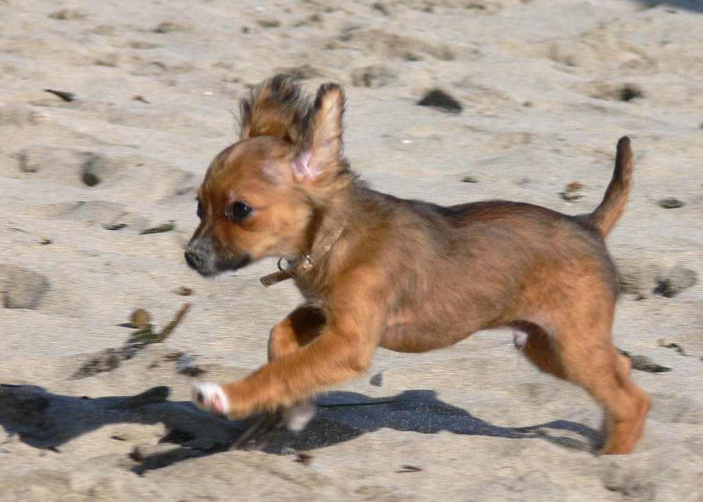 Long Haired Chihuahua Puppy Photo By Chuck Rogers View Ou