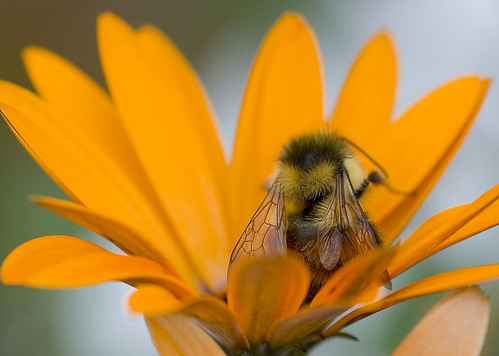 Bee Sitting in a South African Daisy