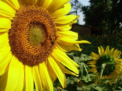 flower sunflower fields honeybee
