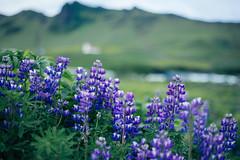lupine Field, Iceland