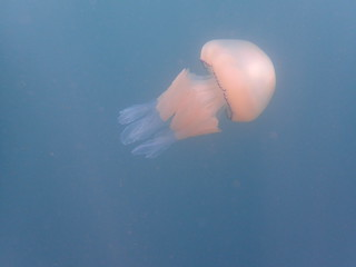 Barrell jellyfish | by simonjohnparkin