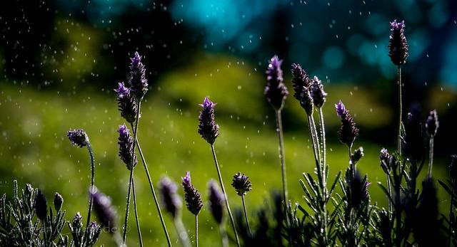 Flores de lavanda I (lavender flower)