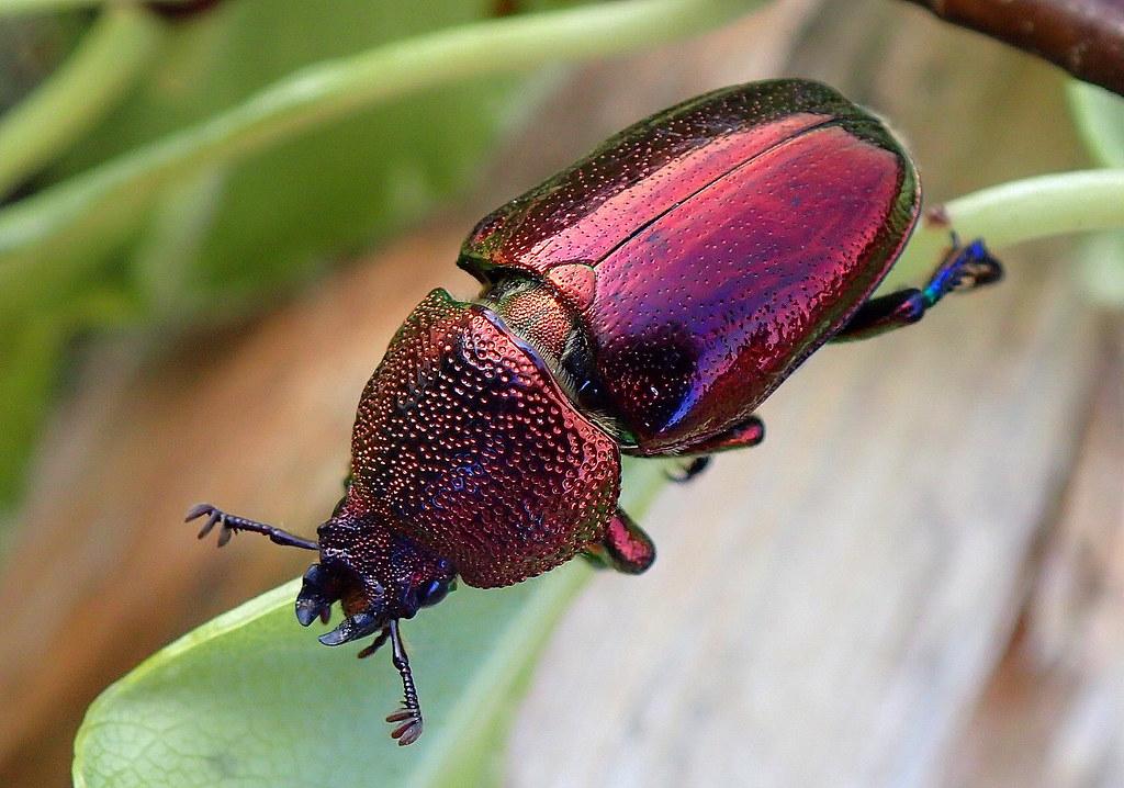Christmas Beetle.Christmas Beetle Best Viewed Large This Christmas B