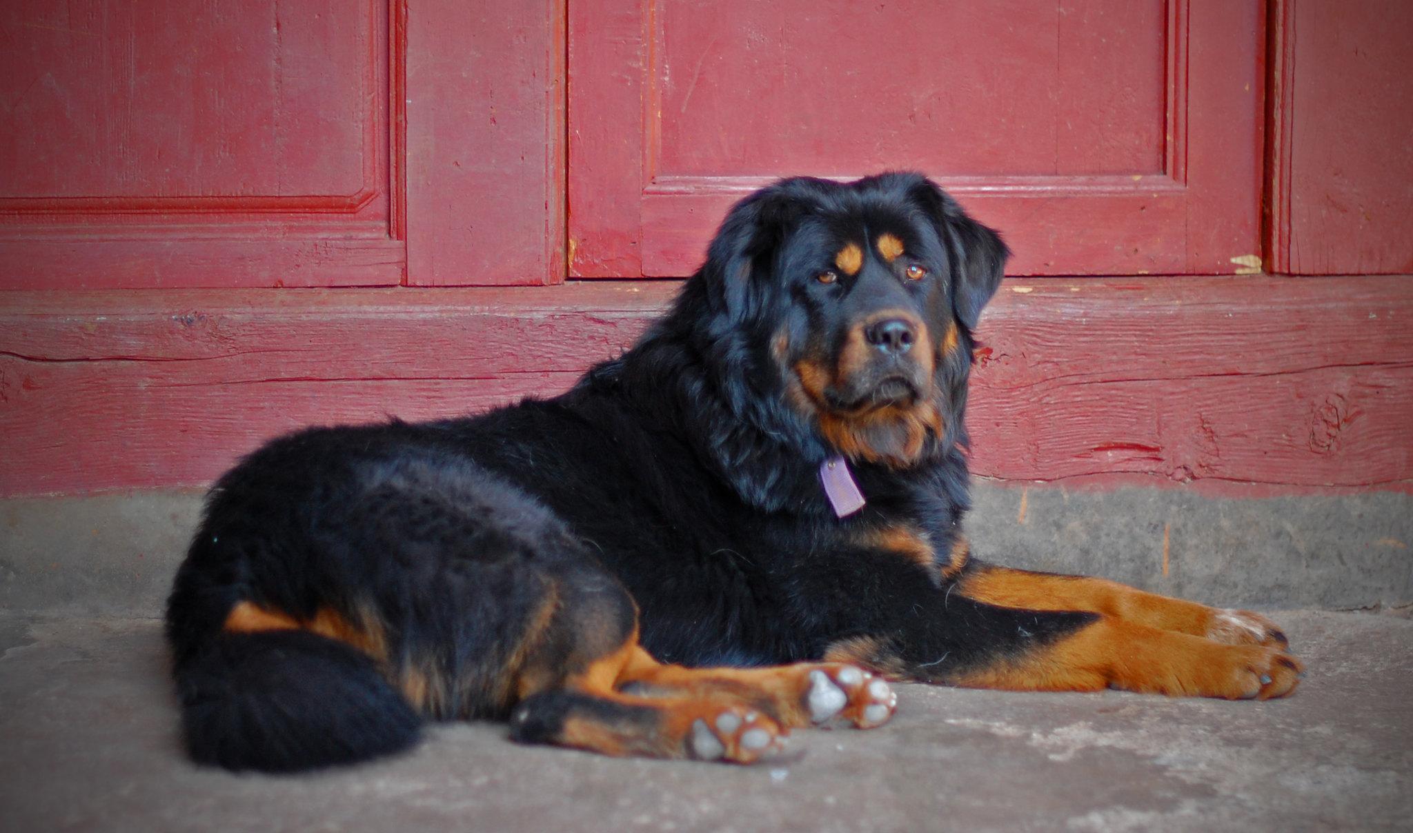 The Tibetan Mastiff at our Hostel