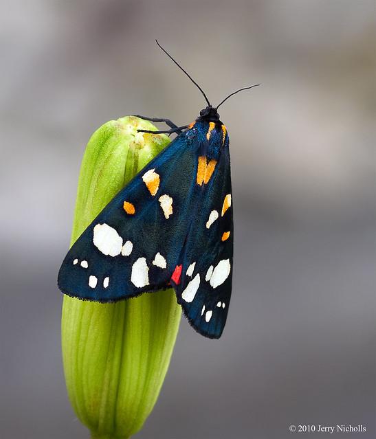 Scarlet Tiger Moth - Callimorpha Domimula
