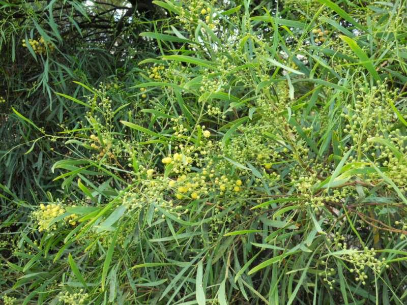 Acacia retinodes 1