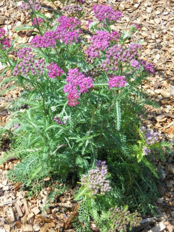 Achillea millefolium 'Cerise Queen' v 1