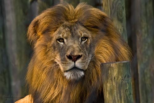 cat feline leo lions naplesflorida napleszoo aboveandbeyondlevel4 aboveandbeyondlevel1 aboveandbeyondlevel2 aboveandbeyondlevel3