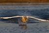 Cygnus olor, mute swan in flight plus sunset by Marcin Nurek