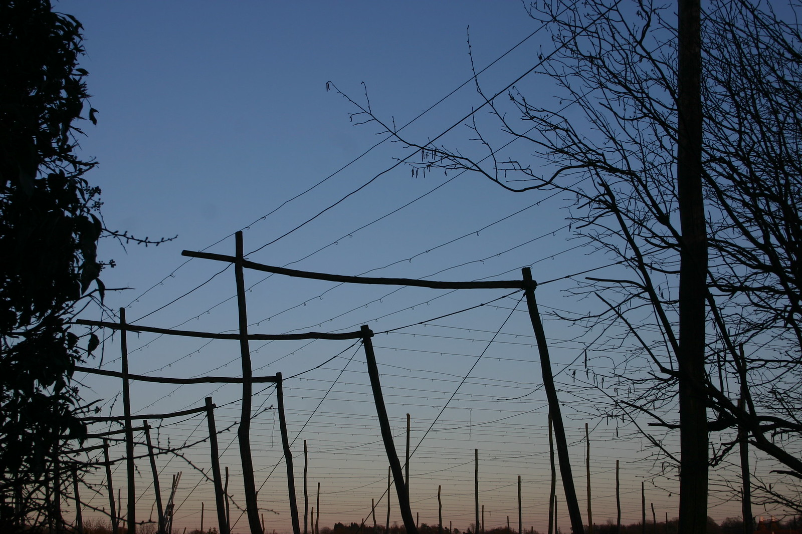 Hop poles at sunset