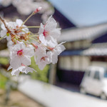 Cherry blossoms began to bloom.