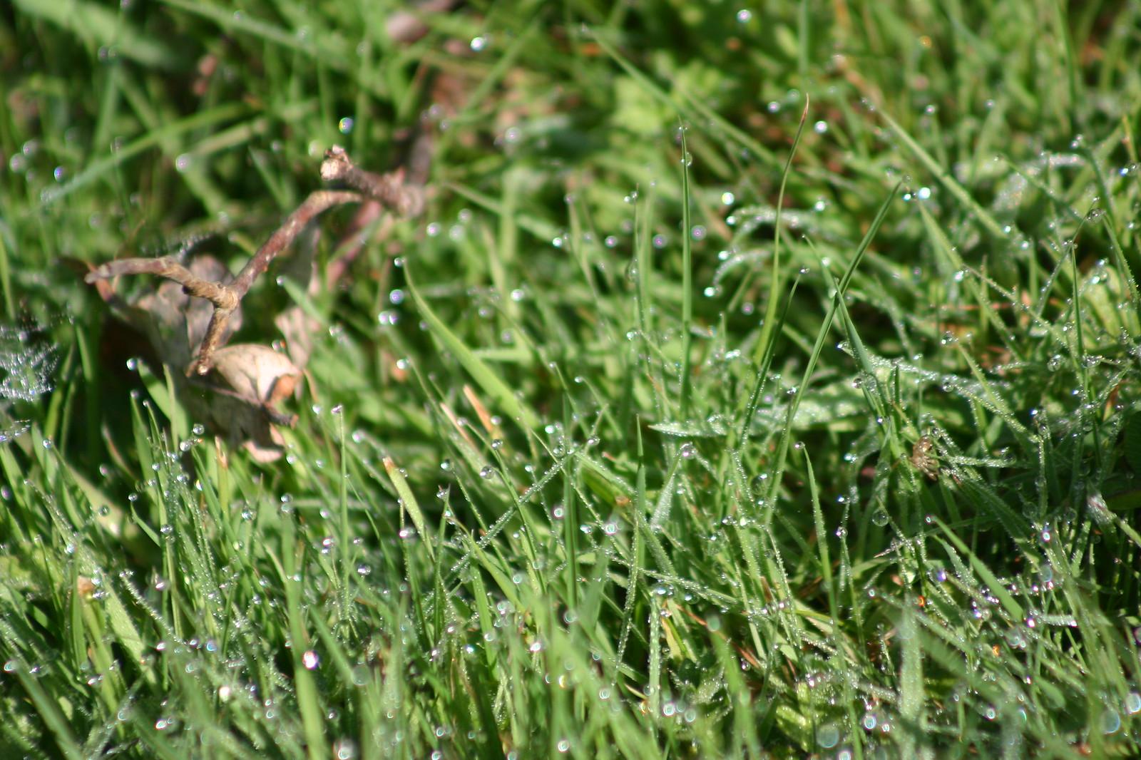 Dew in watermeadow