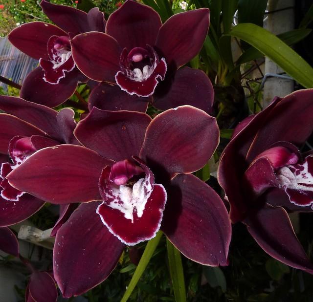 Cymbidium Red Sox 'Windermere' hybrid orchid
