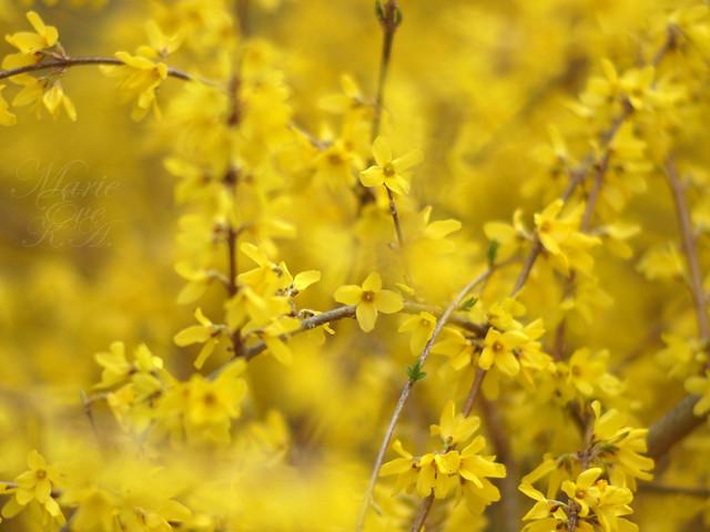 Forsythia flower ; 連翹