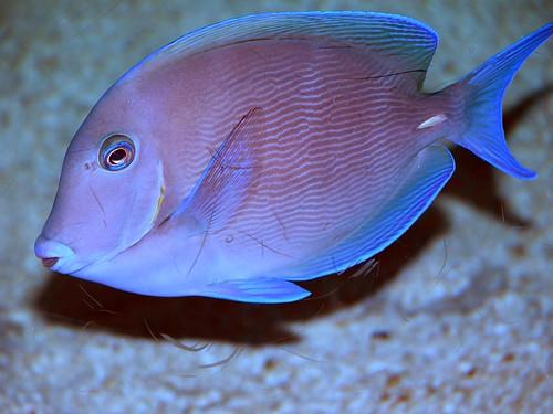 Blue tang | by keywest aquarium