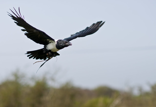 African Pied Crow (Corvus albus)