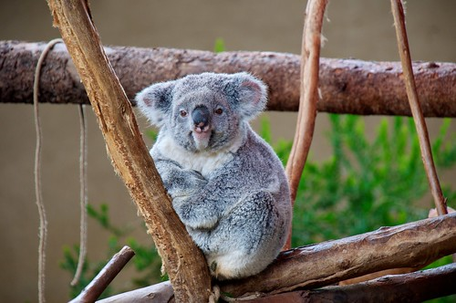 Who you looking at?  Koala in the Zoo | by donjd2