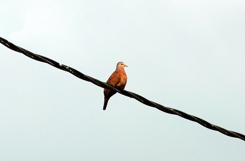 Ruddy Ground-Dove | by birding4ever