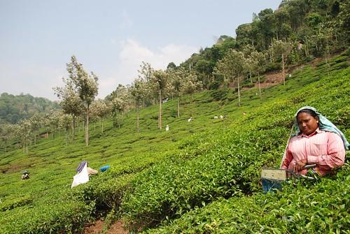 india tea connemara