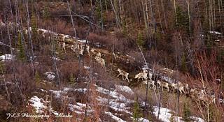 Nelchina Caribou Herd | by JLS Photography - Alaska