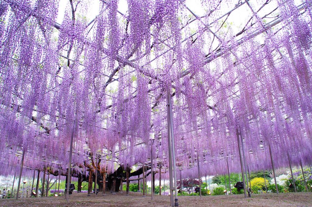 Giant wisteria 01