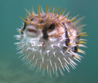 puffer-fish