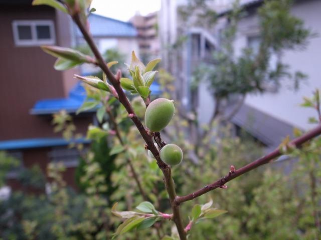 <p>a)娘の誕生記念樹の梅</p>