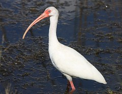 White Ibis, Viera Wetlands, Melbourne, FL