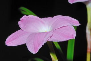 風雨蘭 Zephyranthes sp. Labuffarosa 'Pink Panther' 花朵 | by 澎湖小雲雀