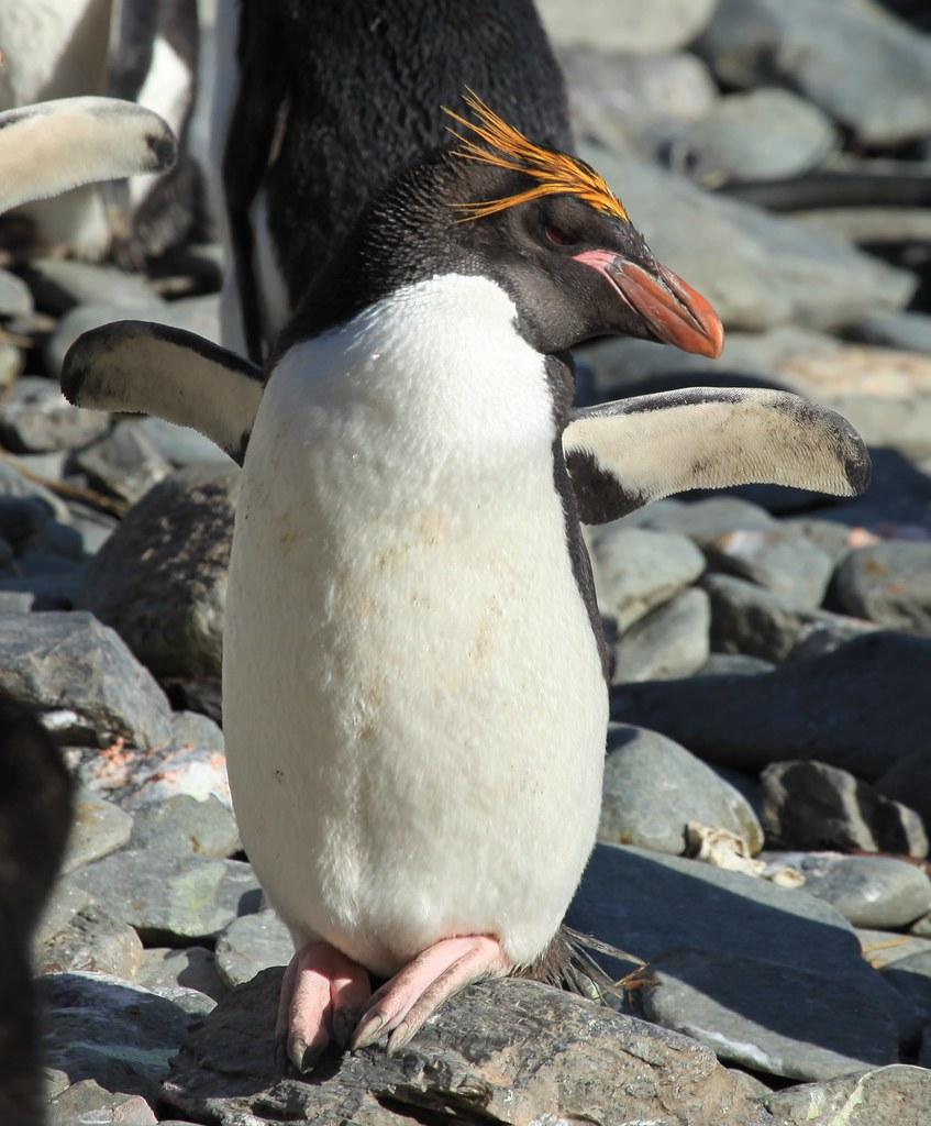 Macaroni Penguin basking in the sun