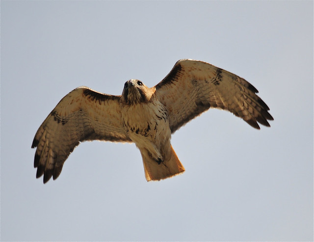 Red-tailed Hawk inflight