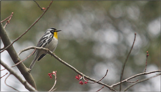 Yellow-throated Warbler | by Birding In New Jersey